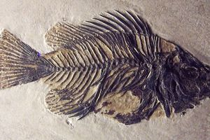 The fish fossil Priscacara clivosa found in Wyoming (probably Green River Formation). It lived in the Early Eocene (50 million years ago).