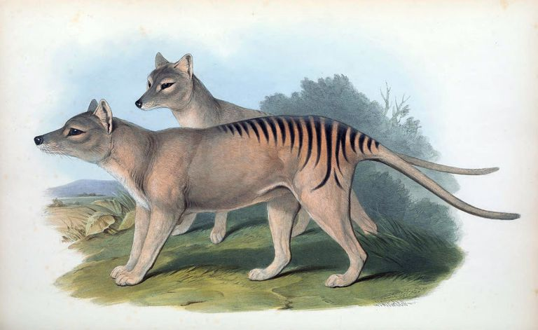 A print of Tasmanian tigers