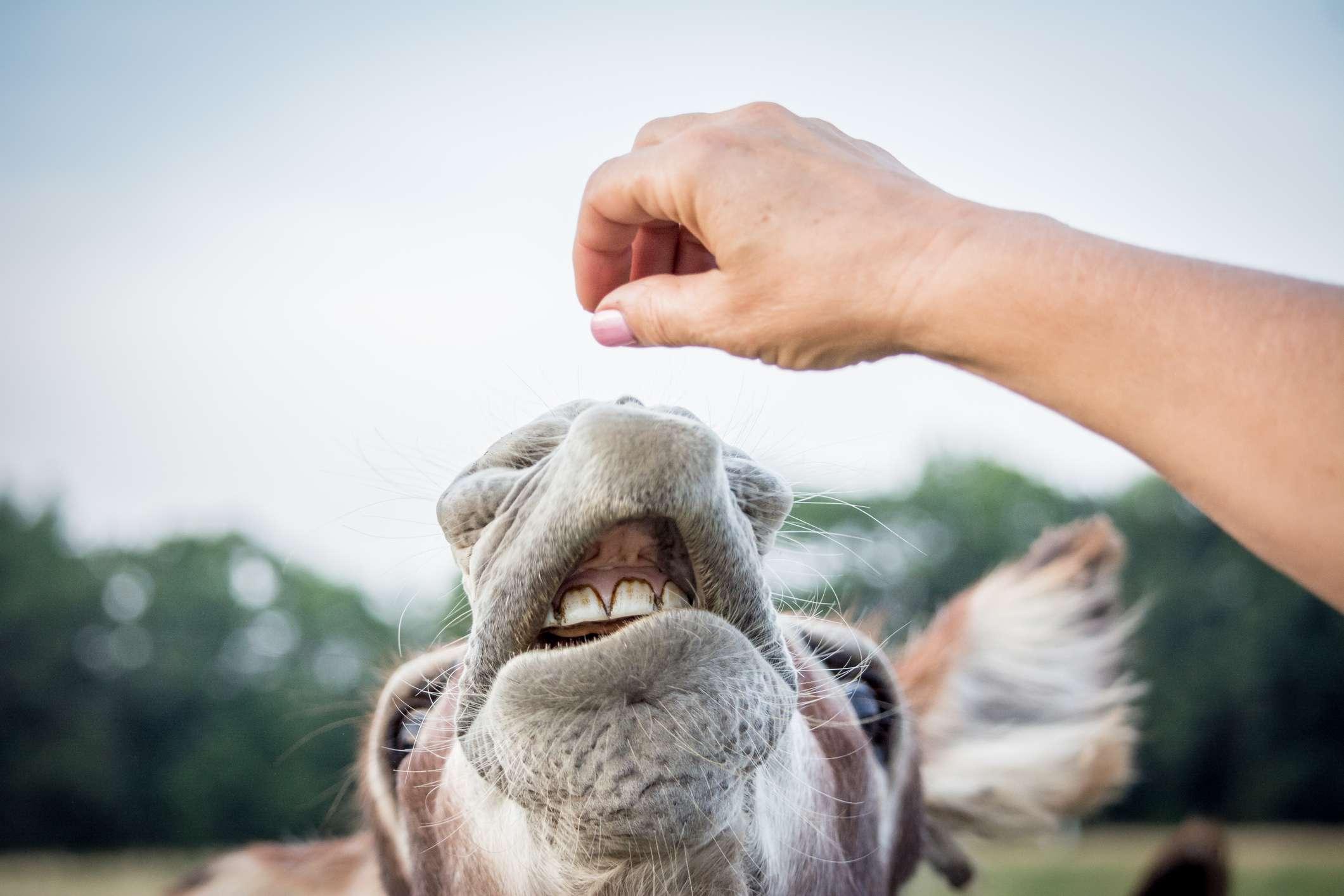 hand feeding goat