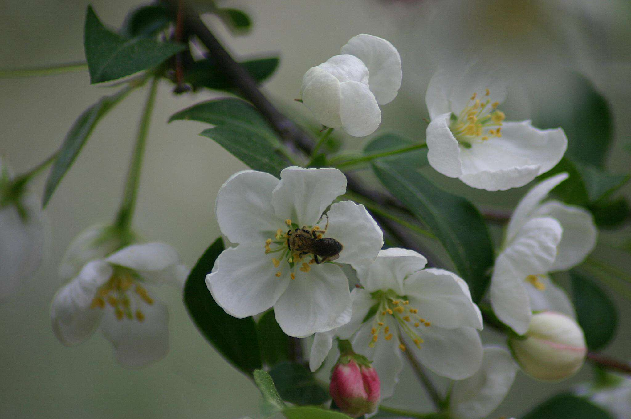 10 Best North American Trees for Bees