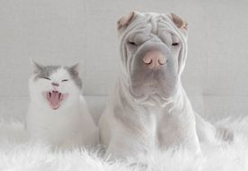 cat and shar pei puppy
