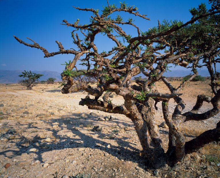 Frankincense Tree (Boswellia carterii) near Salalah, Oman, Dhofar