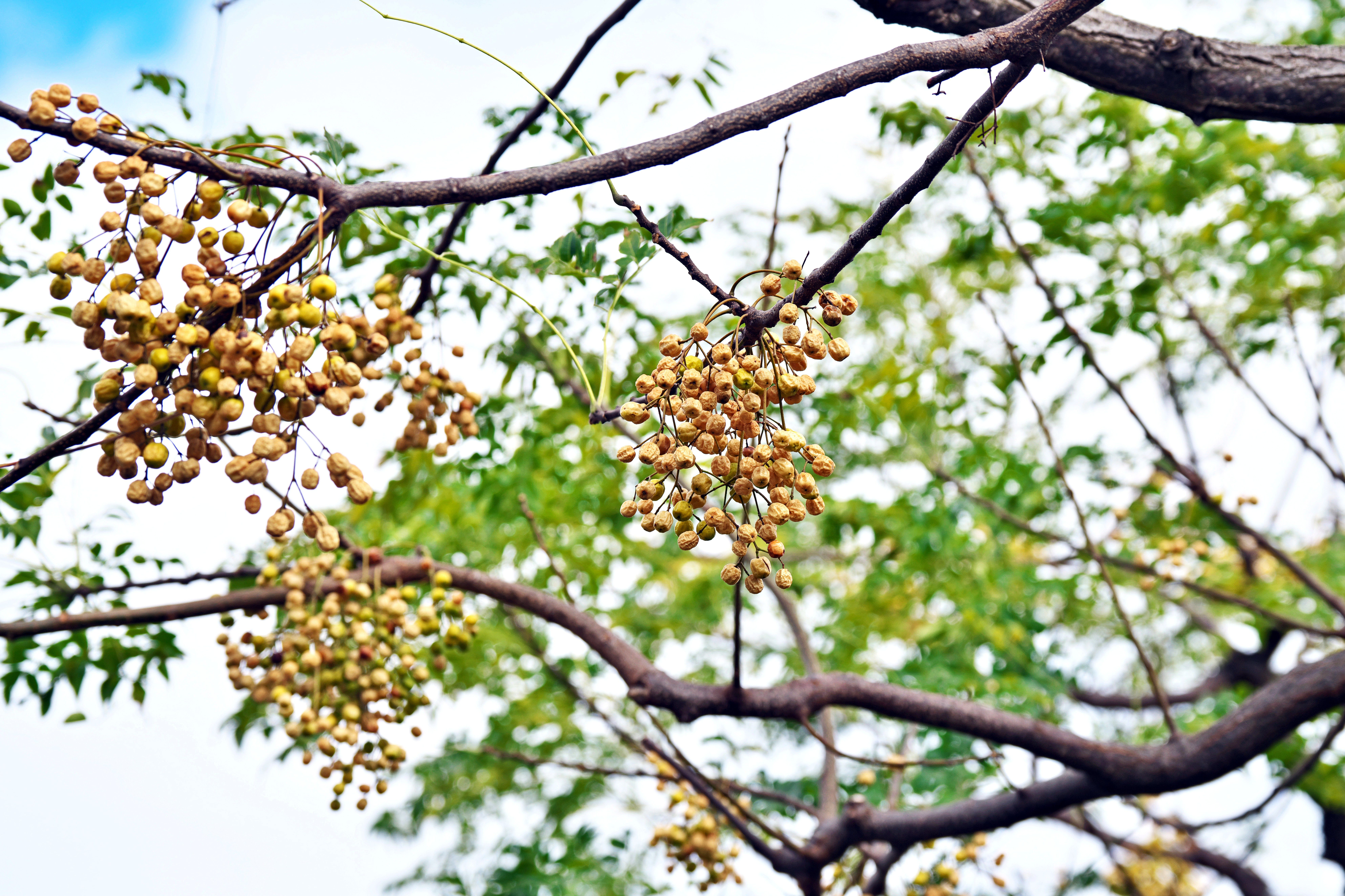 The poisonous fruit of Melia azedarach, called the Chinaberry