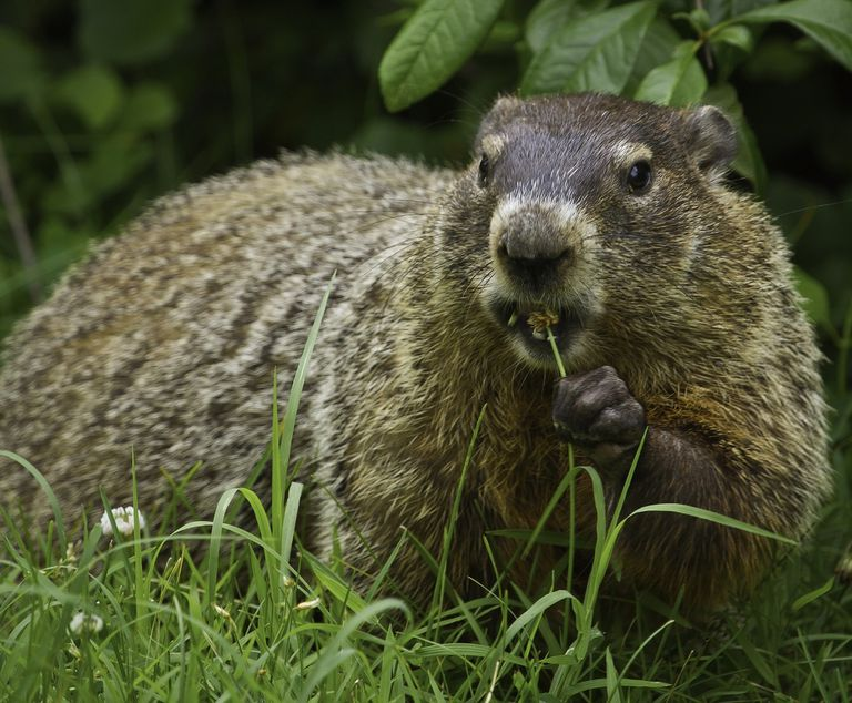 Close up of a groundhog chewing on a piece of grass.