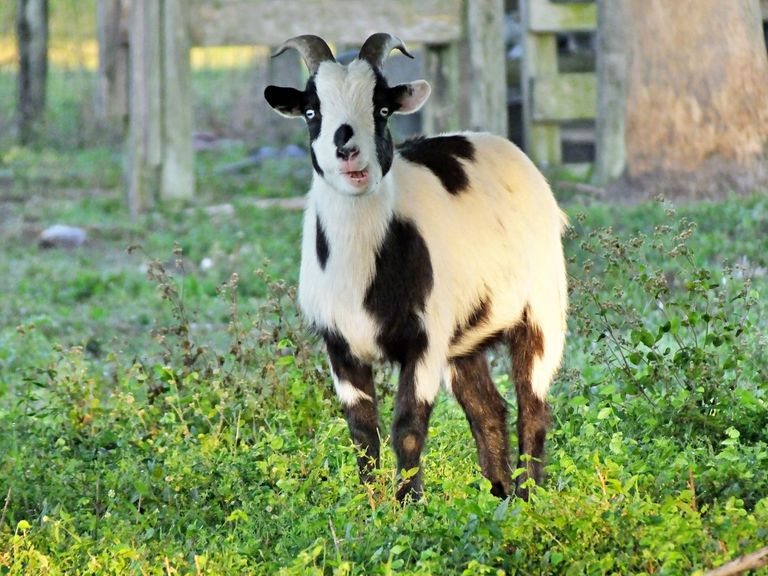 Tennessee fainting goat