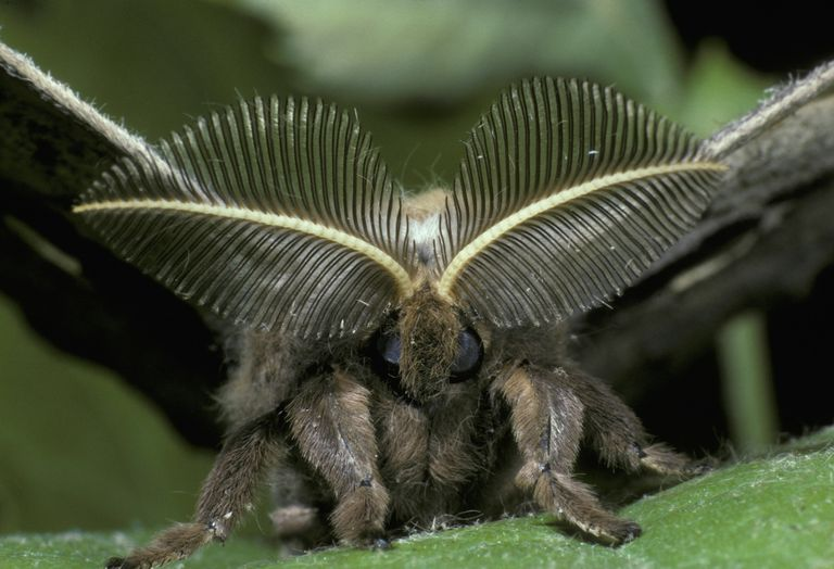 Plumose antennae of a polyphemus moth.