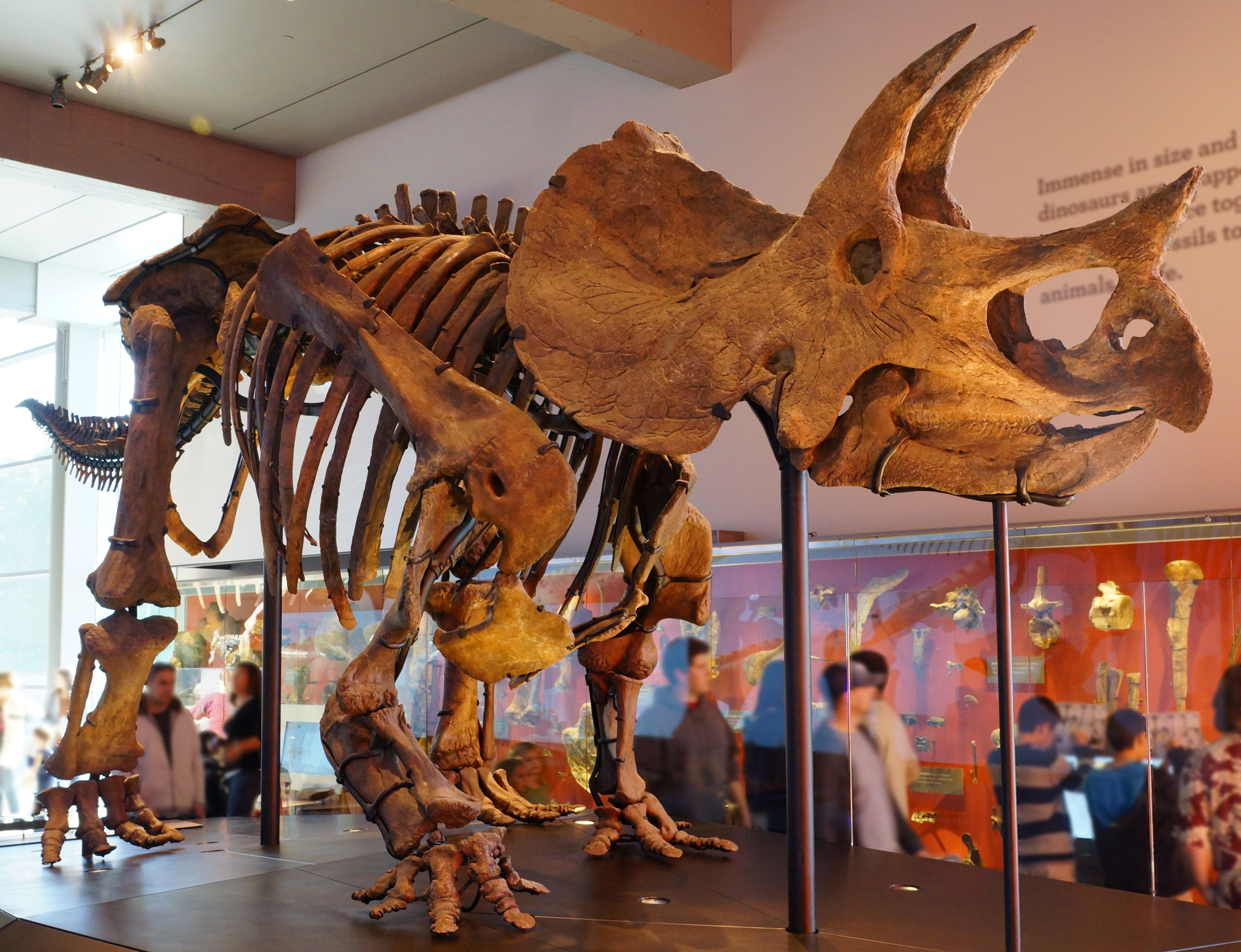 Triceratops skeleton at the Los Angeles Natural History Museum.