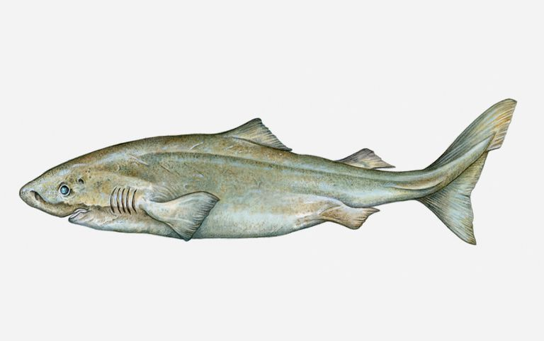 Illustration of Greenland shark (Somniosus microcephalus)