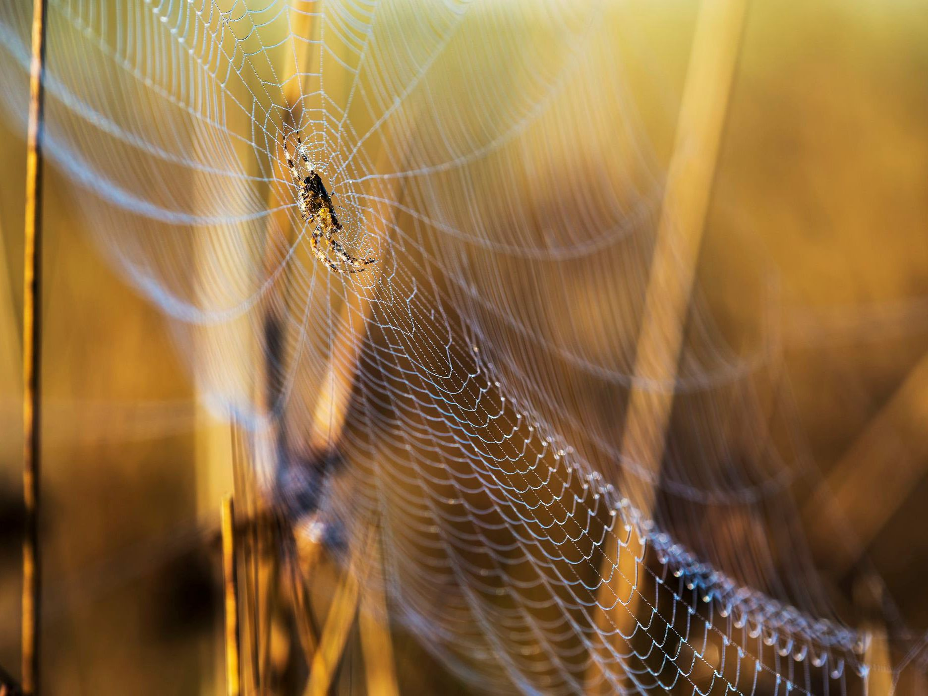 where are orb weaver spiders diet