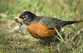 American Robin with wiggling worm in beak