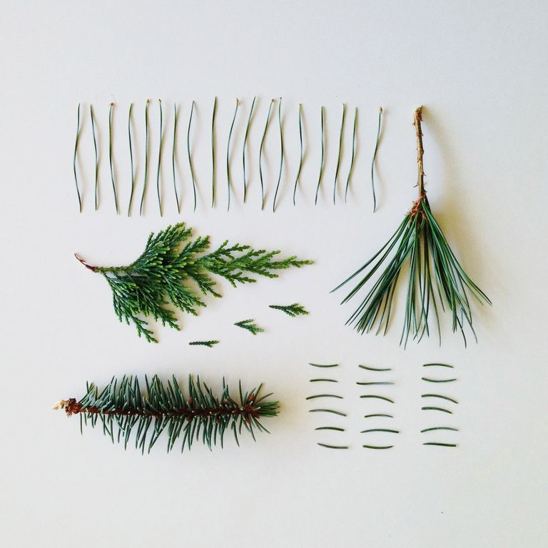 Identify Coniferous Trees By Examining Their Needles