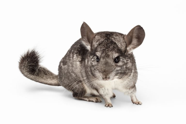 Adult domestic chinchilla
