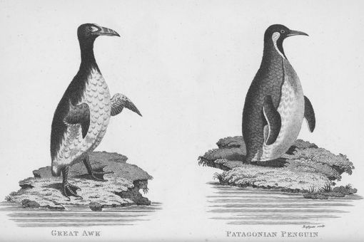 Great Auk And Patagonian Penguin