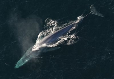 How big is blue whale penis
