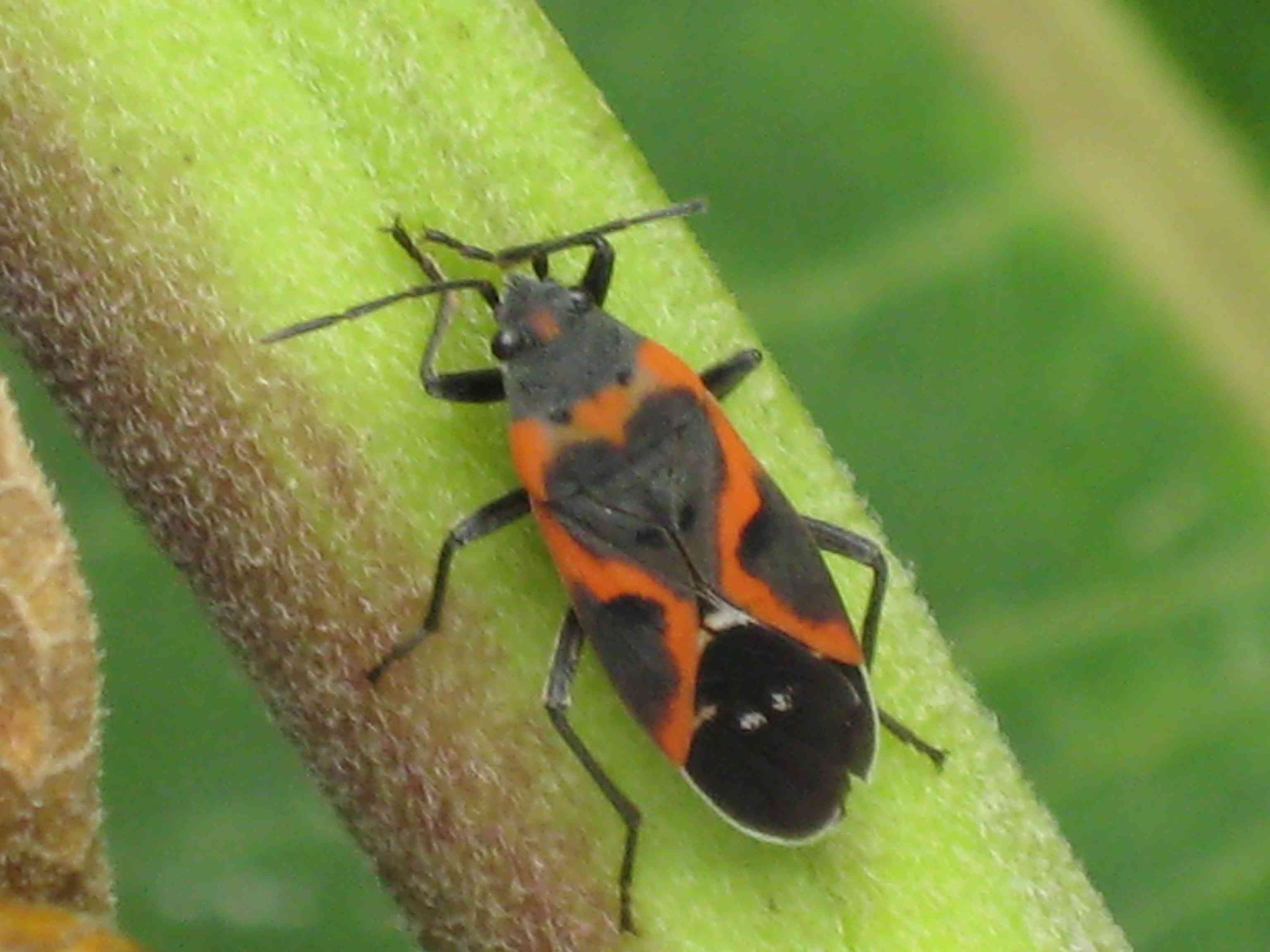 10 Stunning Red and Black Garden Bugs