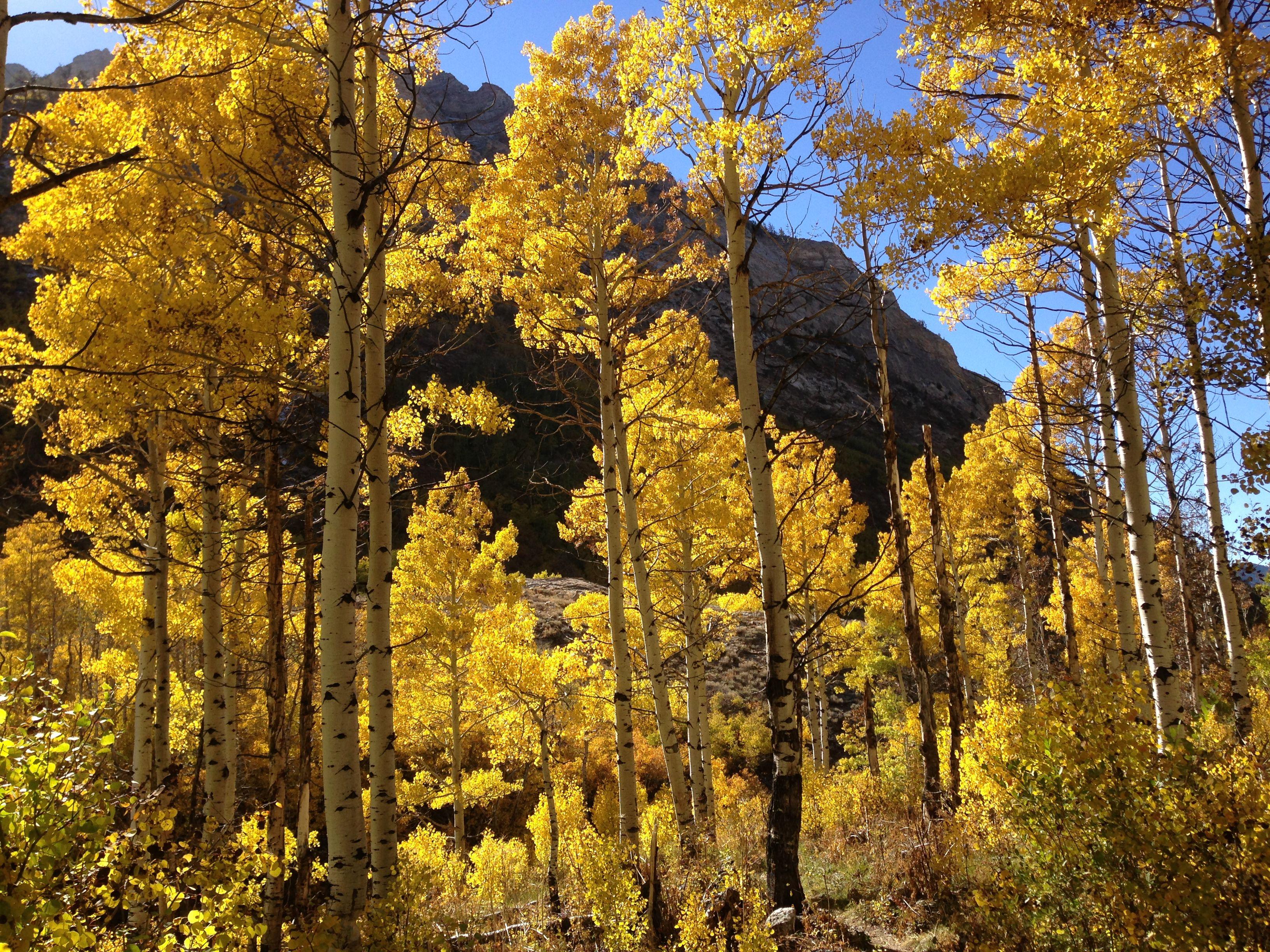 秋のポプラの木