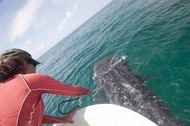 Marine biologist taking skin sample from a whale