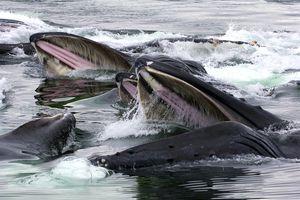 Feeding Humpback Whales, Alaska. Humpbacks are a mysticeti species and feed using baleen/