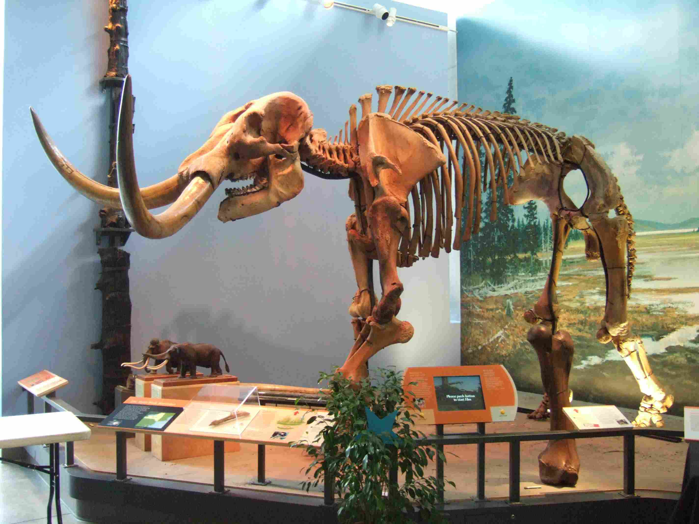 Skeleton of mastodon