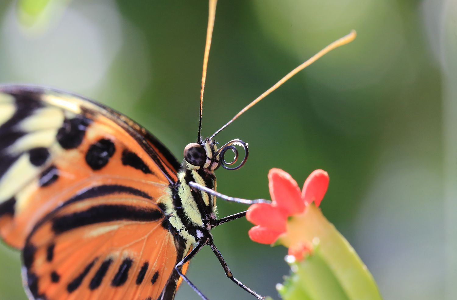 Extreme Close up of a Tiger Mimic Butterfly (mechanitis_polymnia)