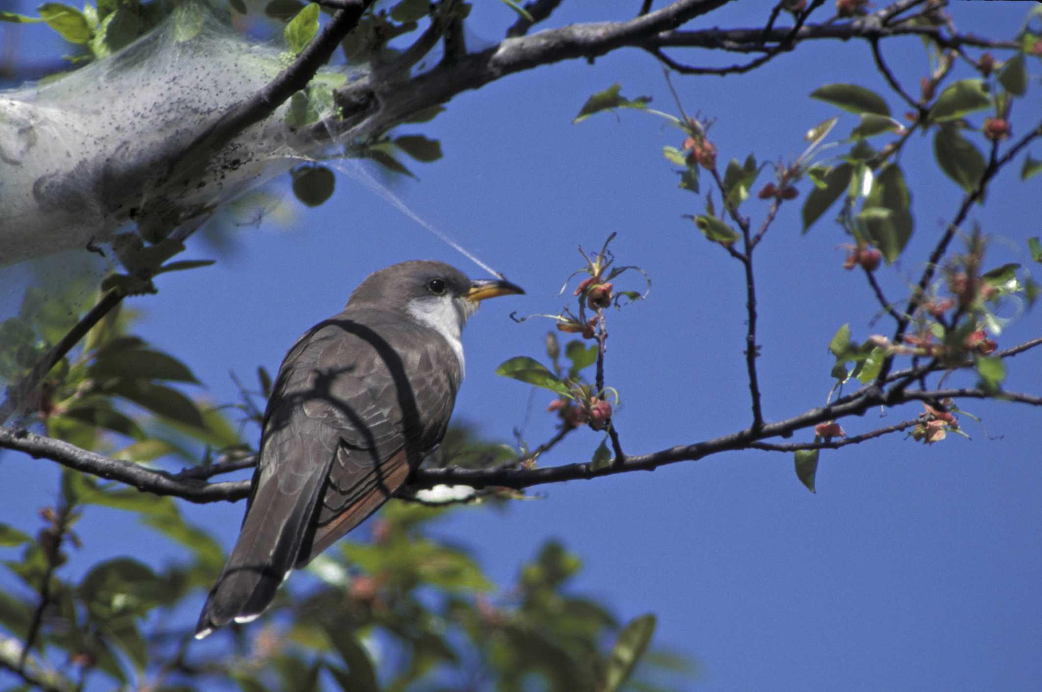 Bird perched near caterpillar tent.