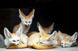Group of fennec foxes