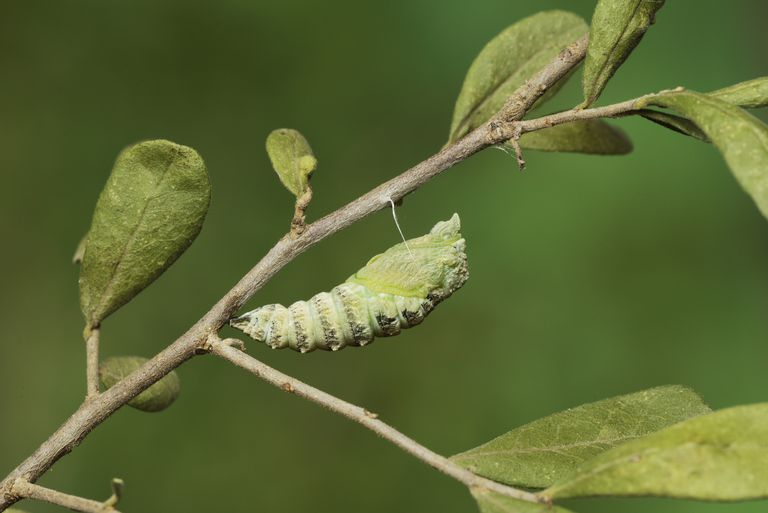 Black Swallowtail (Papilio Polyxenes) caterpillar pupating into chrysalis, Hill Country, Texas, USA