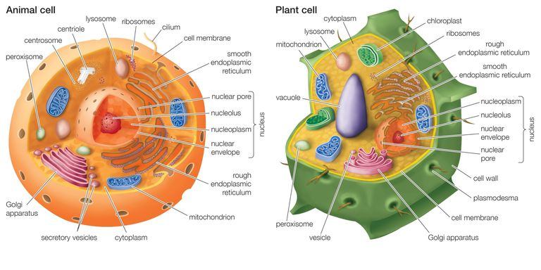 Animal Cell vs Plant Cell