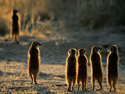 meerkats socializing