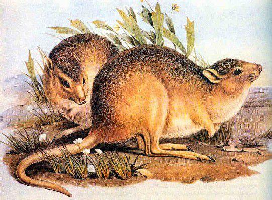 desert rat kangaroo