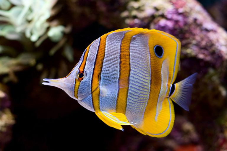 level 3 secondary consumers a yellow blue and white butterfly fish