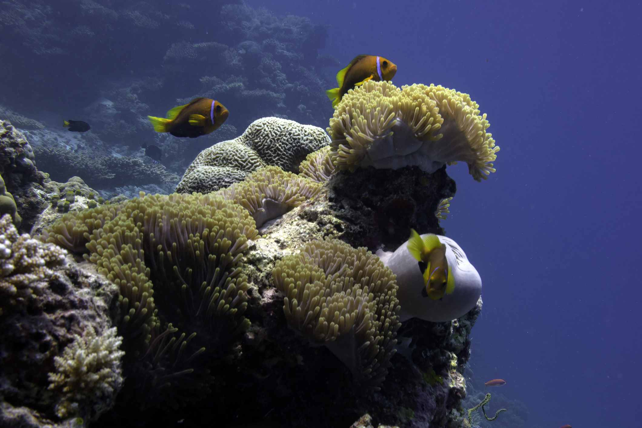 Corals, anemone, and clown fish