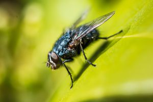 Close-up of a fly.