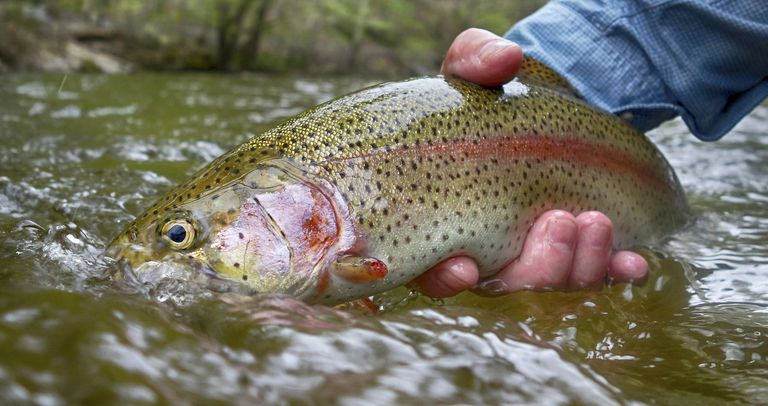A steelhead trout in a river
