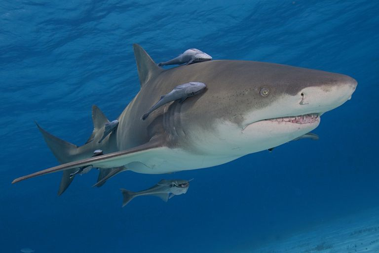Close up of shark with remora fish in ocean.