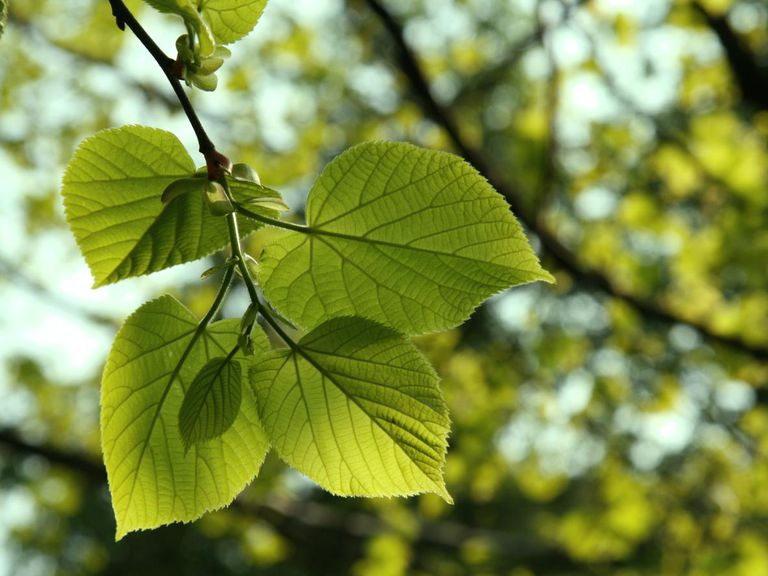 Image result for Leaf in trees