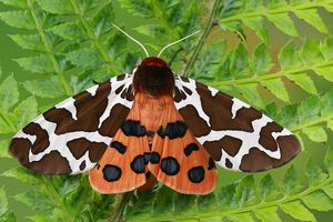 Close-up of a brightly-colored tiger moth