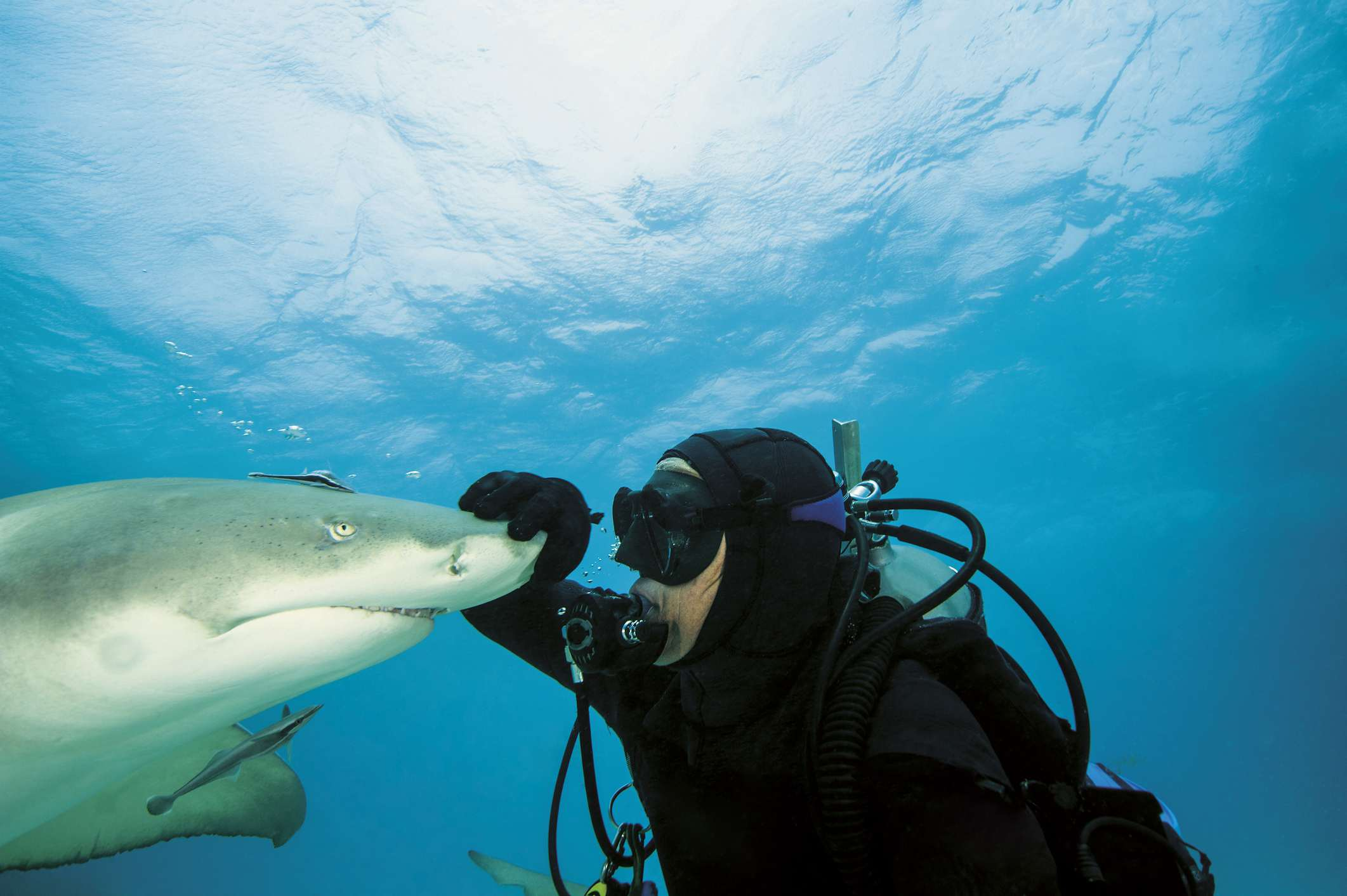 Lemon sharks are popular with divers because they are not ordinarily aggressive toward humans.