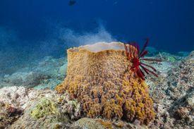 Spawning Sea Sponge, Osprey Reef, Coral Sea, Australia