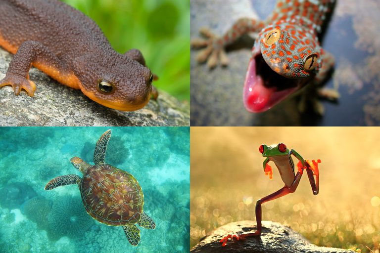 Reptile or Amphibian?