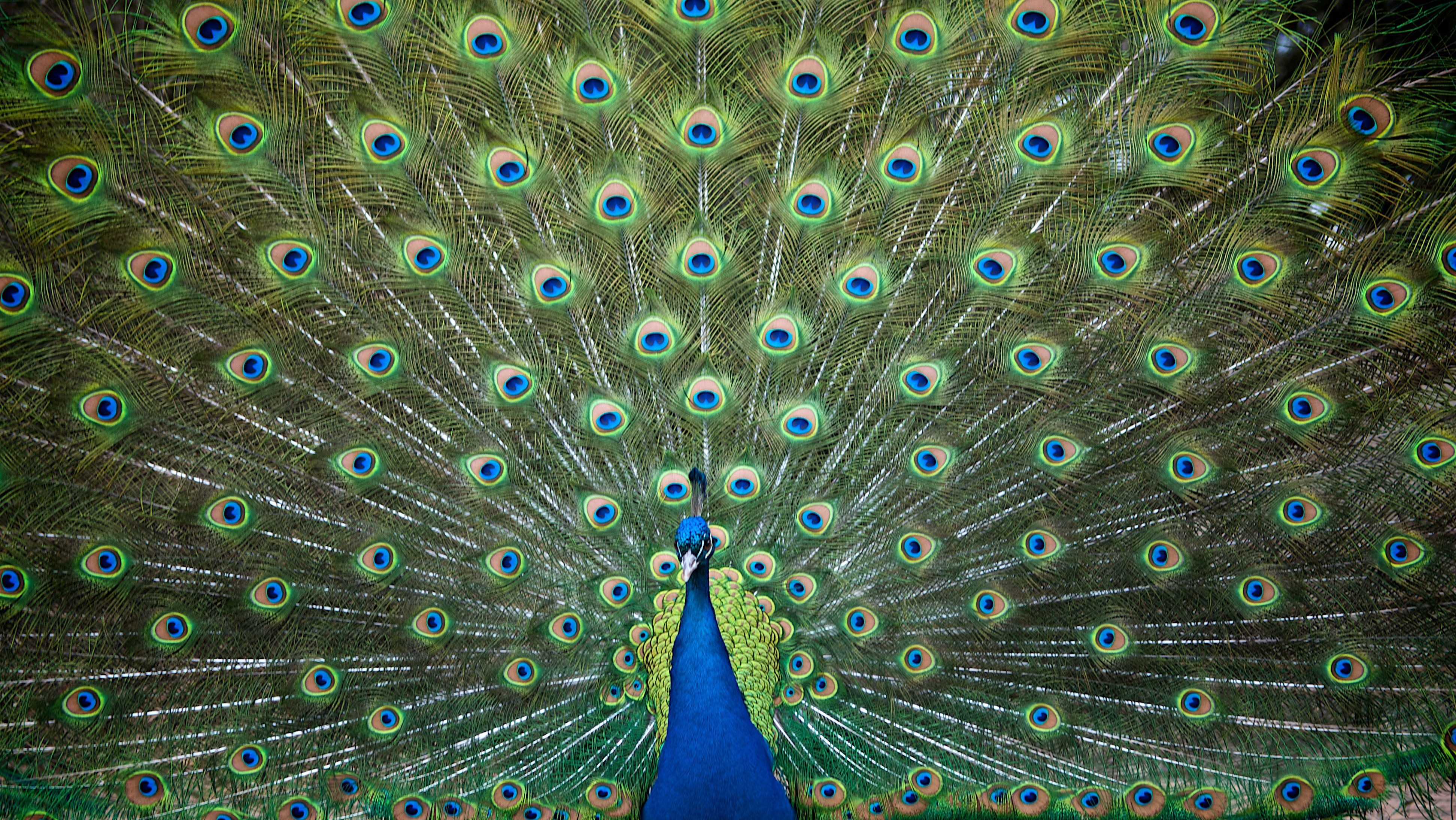 A peacock showing his eyespots
