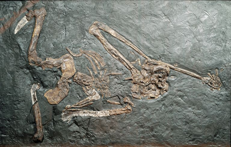 Fossil of Oreopithecus bambolii, a prehistoric primate.