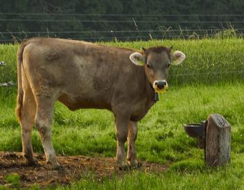 Domestic Cow (Bos taurus) in Rural Zurich, Switzerland