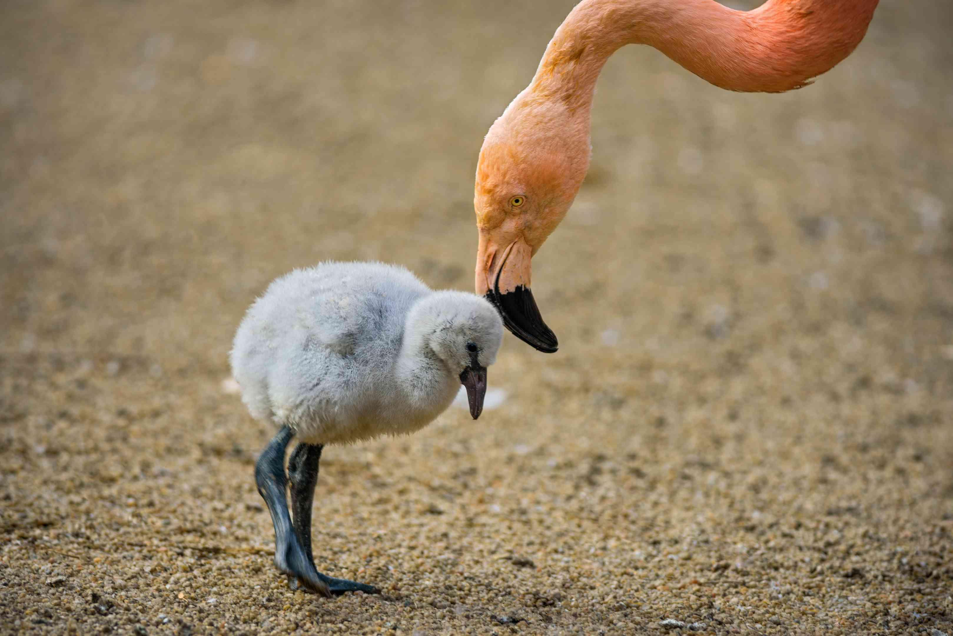 Flamingo Erwachsener und Küken