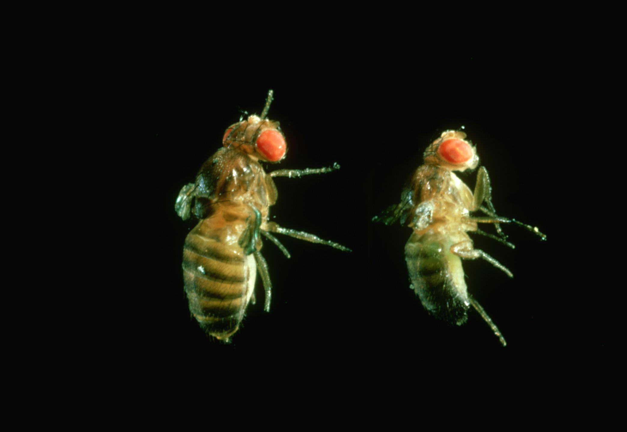 Fruit Flies with Vestigial Wings