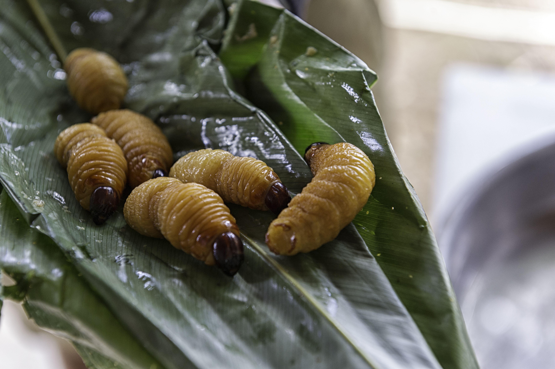 Palm tree weevil larvae