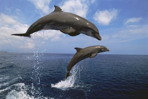 two bottlenose dolphins jumping