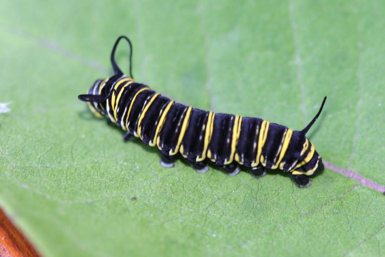 Monarch caterpillar.