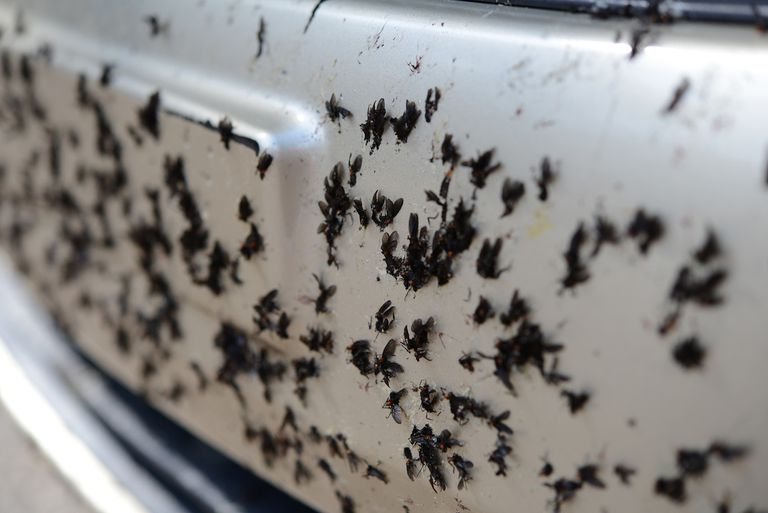 Dead Florida lovebugs stuck to car