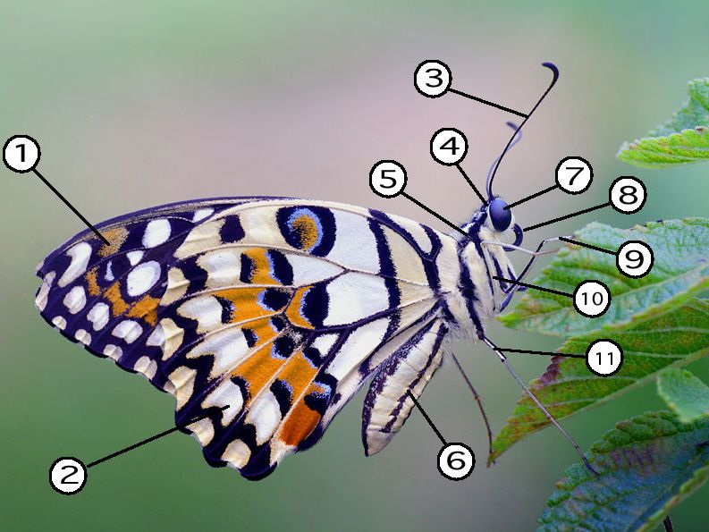 The Parts of a Butterfly